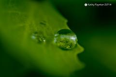 Leaf Waterdrop (kathypaynter.com) Tags: macro leaf waterdrop waterdrops waterdropmacro macrowaterdrop