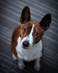 "4.12b Raisin ""That Face!"" (jezandia) Tags: dog raisinbasenji 12monthsfordogs14"