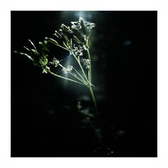 darknessreveals (seba0815) Tags: ricohgrdiv grdiv woods flower light contrast dark darkphotography square color black green white shining scratches seba0815 nature mood shadow sunlight beam minimal