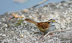 wts (i.snaps) Tags: bird birds sparrow whitethroatedsparrow mudlake ottawa ontario