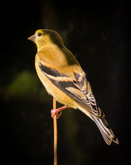 American Goldfinch (mahar15) Tags: birds outdoors goldfinch wildlife finch nature americangoldfinch