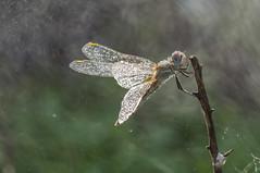 The Shower (jrosvic) Tags: dragonfly libelula odonata freehand entomology nikond90 nikon105mmf28vrmicro sympetrumfonscolombii anisoptera rain cartagena spain