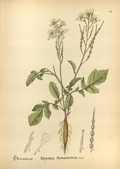 n108_w1150 (BioDivLibrary) Tags: botany botanymedical unitedstates missouribotanicalgardenpeterhravenlibrary bhl:page=5878166 dc:identifier=httpbiodiversitylibraryorgpage5878166 raphanusraphanistrum botanicalillustration radish