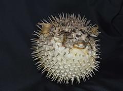 "Tetraodontidae - ""Pesce palla"" (costagar51) Tags: trapani sicilia sicily italia italy pesci animali mare anticando greatshotss photosandcalendar thebestofmimamorsgroups"