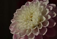 Dahlia (peeteninge) Tags: flora dahlia flowers bloemen pink roze white wit nature natuur