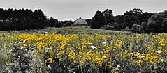 in fields of gold...(HSS) (BillsExplorations) Tags: barn roundbarn historic old vintage johnsonsauktrailstatepark illinois illinoisstatepark gold yellow wildflowers field sliderssunday hss