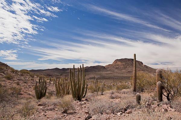 Organ Pipe Cactus at Organ Pipe Cactus NM