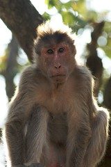 monkey ~ Nagarhole national park (LaylaLee) Tags: park india national gandhi karnataka rajiv