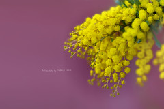 (MAIKA 777) Tags: flower fleur flickr flor mimosa fiore canonef50mmf14usm img3062 acaciadealbata canoneos5dmarkii maika777 loquetedigalarubia