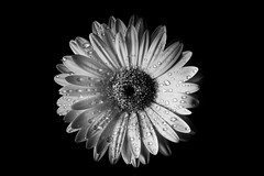 oO0o (frankallanhansen) Tags: blackandwhite bw flower macro is usm f28l ef100mm