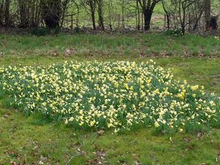 Daffodils, St Bartholomew's Churchyard, Vowchurch