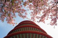 [遮陽] (funkyruru) Tags: life sky cherry blossom 28mm cherryblossom ricoh 淡水 a12 天空 櫻花 天元宮 postprocessing gxr 生活隨拍 ²h¤ô äåªá ¤ñ¤¸®c ¤ñªå ¥í¬¡àh©ç