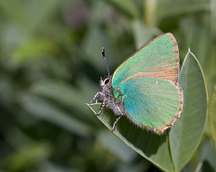 Green Hairstreak - Callophrys rubi (Greenwings Wildlife Holidays) Tags: green butterfly insect greek lepidoptera greece rodos rhodes hairstreak greenhairstreak greenwings mattberry callophrysrubi photocontesttnc11 greenwingsco