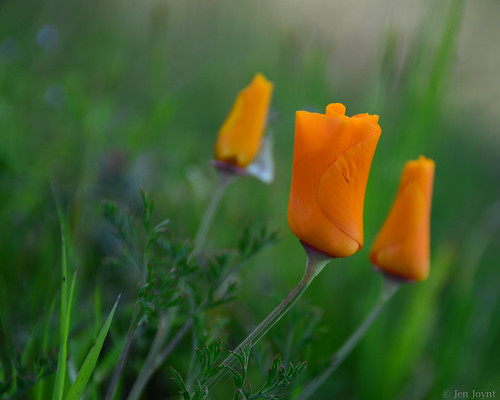 Three poppies in evening dress