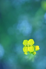 Peace and Quiet (*Sakura*) Tags: blue white flower macro green nature yellow japan tokyo  mustard sakura  canola  rapeblossoms