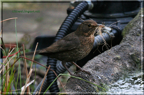 Pond Visitor - Female Blackbird