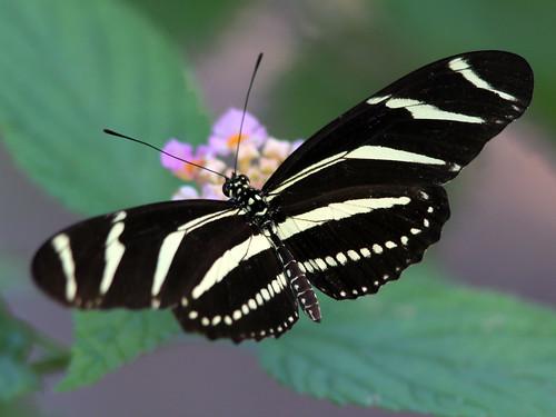 Zebra heliconian 20110408