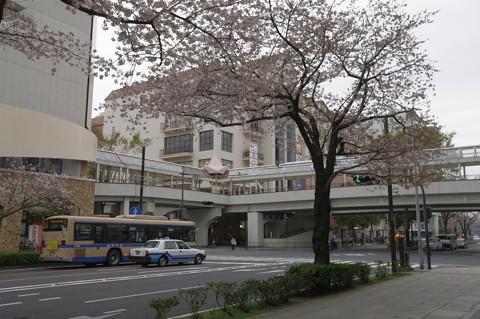 日本も曇り空 横浜本牧の桜