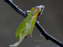 Last Winter (marinela 2008) Tags: autumn winter snow color verde green fall nature rose yellow last garden season leaf frost branch colours natura torn toamna shrub bucharest bucuresti hoar ger gradina iarna 2011 maces chiciura zapada creanga frunza colorit promoroaca culoare hiprose ramura anotimp arbust marinela2008 trandafirsalbatic trecuta ghimpe