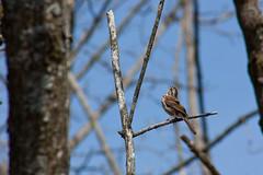 Crooning songbird (NJRC) Tags: cambridge canon sparrow 75300 xsi