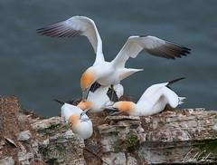 -_DSC0135-09-04-2011-Edit.jpg (TheApertureMan) Tags: birds cliffs gannets seabirds rspb bemptoncliffs thewildlife