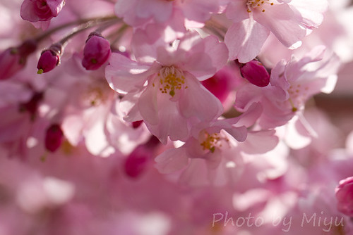 weeping cherry blossoms and pink bud