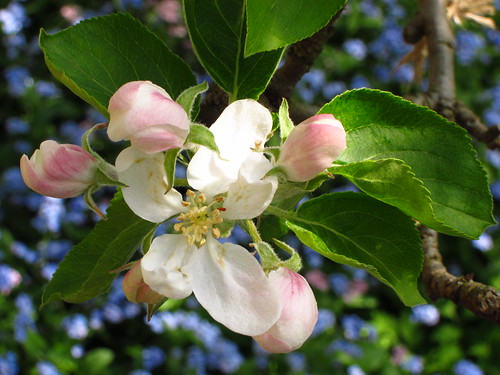 Apple Blossom in the Orchard Garden at Fenton House