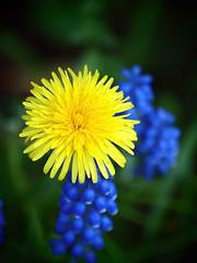 A weed in my garden. (saxonfenken) Tags: blue flower green yellow garden dof dandelion wildflower undefined 0410 muscari 157 grapehyacinth bigmomma friendlychallenge herowinner pregamesweepwinner gamesweepwinner yellowblueorgreenorallthree yellowbluegreenorallthree 157flowers
