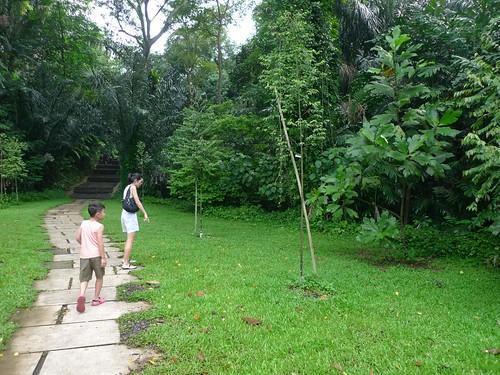 Marang Tree - 30 Mar 11