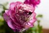 IMG_9840 (V per Vendetta) Tags: flower macro ranunculus fiore ranuncolo canoneos5d canonfd28mmf28