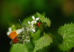 Tipping The Bird (Paul:Ritchie) Tags: macro nature animals insect nikon wildlife butterflies insects hampshire bugs ladybird nettles invertebrates insecta orangetip nikond60 tamronaf70300mmf456dildmacro anthochariscardimines paulritchie