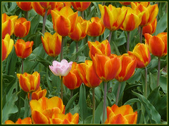 Tulips (Vestaligo - Vacation with Internet connection) Tags: vienna flower colour green yellow geotagged austria spring tulips blossom orang tulpen mygearandme mygearandmepremium