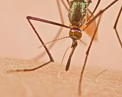 Mosquito feeding (pbertner) Tags: ala mouches fliege moscas diptera flgel voler lalat sayap dpteros  laile  diptres   dipteren