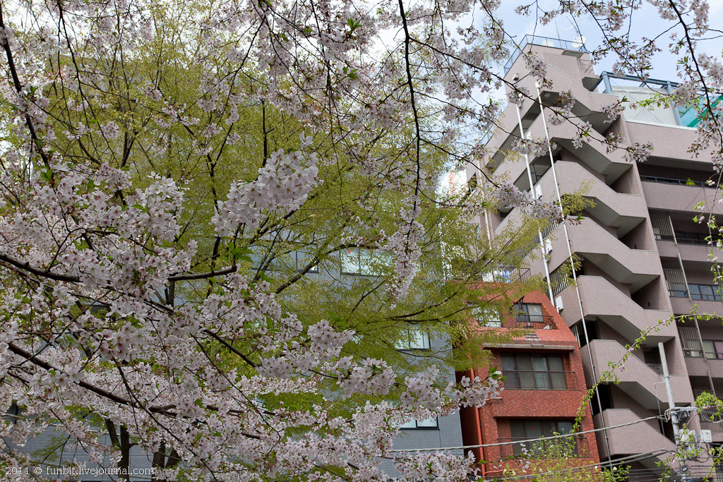 Tokyo Ryogoku Sakura 3