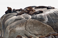 Seal Island (Eefje74) Tags: africa game nature animal landscape southafrica bush wildlife capetown seal cape afrika animales peninsula westerncape capepeninsula kaapstad sudafrica zuidafrika westcape westkaap