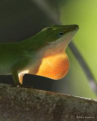 Green Anole (bunnyfrogs) Tags: light wild sunlight green animal reptile wildlife lizard anole backlit dewlap