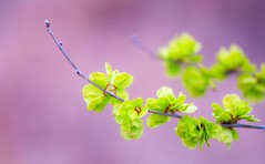 Max Spring (jaxxon) Tags: pink plant blur color colour detail macro green colors leaves closeup spring nikon focus colours dof close little zoom bokeh small pad depthoffield zen tiny 365 nikkor magnified upclose contemplative miksang myfave magnify springtime closer pinkandgreen greenandpink zoomed twocolored lilliputian 2011 d90 nikor project365 f28g jaxxon jackcarson zoomedin multifarious apicaday ayearinpictures nikond90 hpad 102365 project365102 nikkor105mmf28gvrmicro 365102 desklickr jacksoncarson jacksondcarson ayearinphotographs hpadw project3652011 2011yip 3652011 yip2011 2011ayearinpictures 2011365102 project3651022011