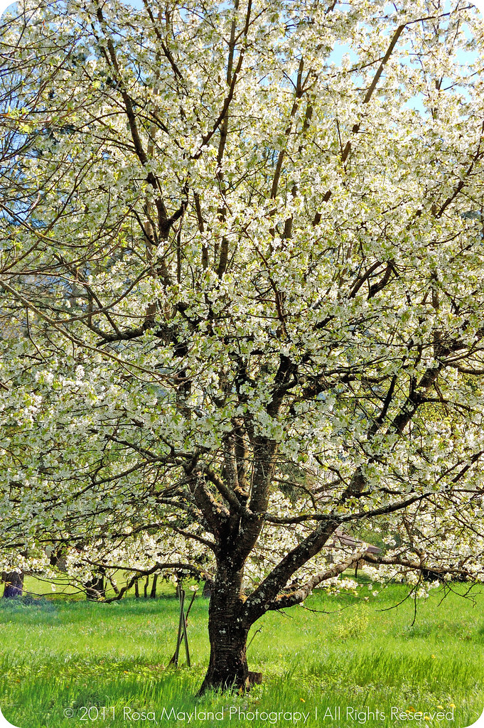 Springtime Cherry Tree bis bis