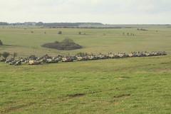 BATTLE GROUP (John Ambler) Tags: 2 training army exercise group battle area lions british britisharmy plain challenger tanks battlegroup lionsstrike strikesptasalisbutyplaintrainingareasalisbuty