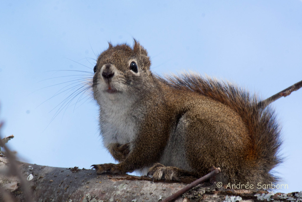 Red squirrel in the bird tree (6 of 11).jpg