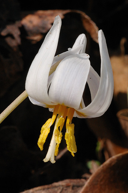 Silver Lake Park, in Highland, Illinois, USA - Erythronium albidum (White Trout Lily) wildflower 2