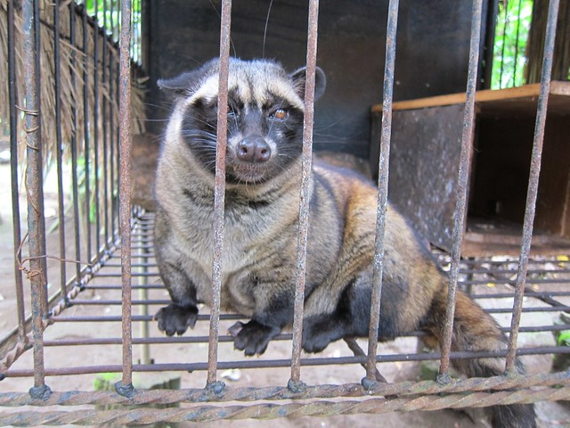 Where Kopi Luwak Comes From (Civet)