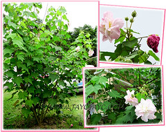(Confederate Rose, Cotton Rose) shrubs, seen at Siloam House, Karak in Pahang