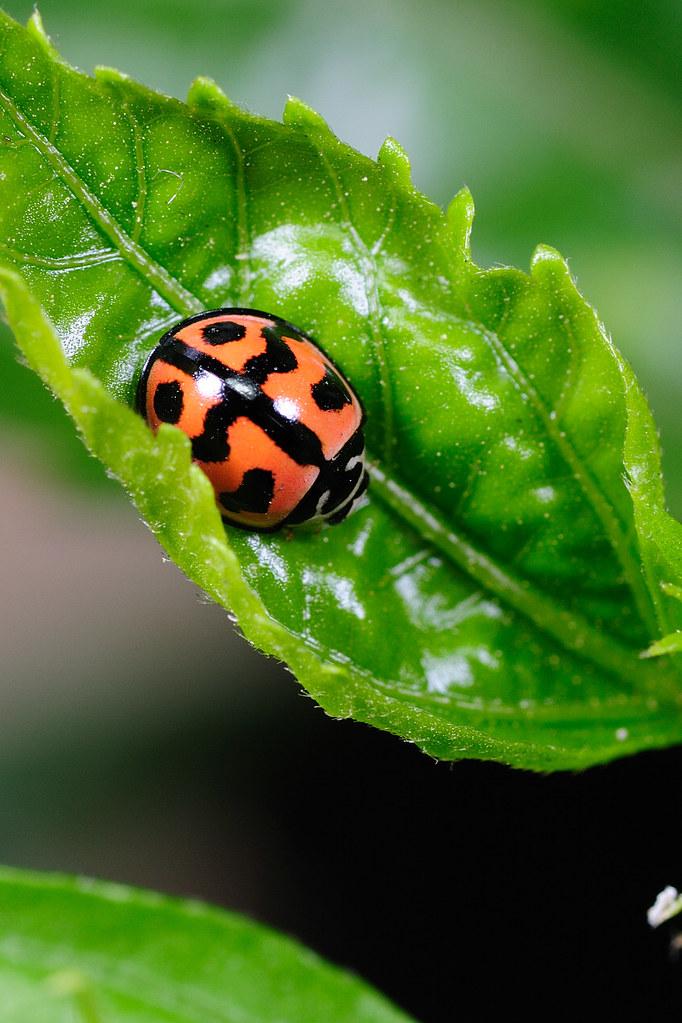 六條瓢蟲 Cheilomenes sexmaculata