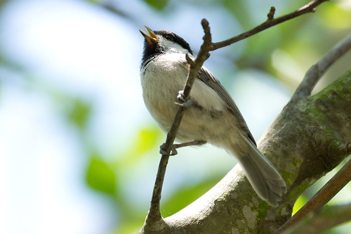 Carolina Chickadee - 3