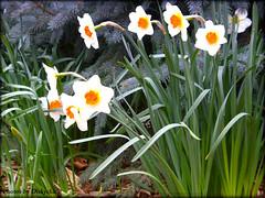 Daffodil Chorus (diskychick) Tags: morning food nature animals photoshop temple zoo washingtondc dc spring mormon cameraplay