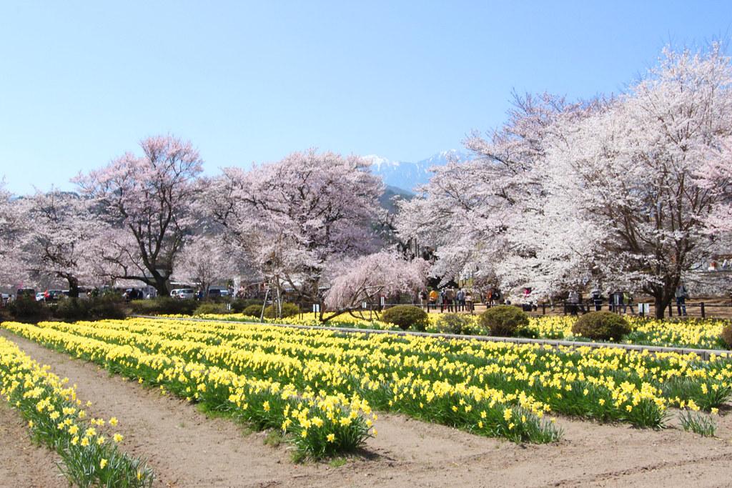 Sakura Photo 2011The Yamadaka Jindai Cherry blossom (7)