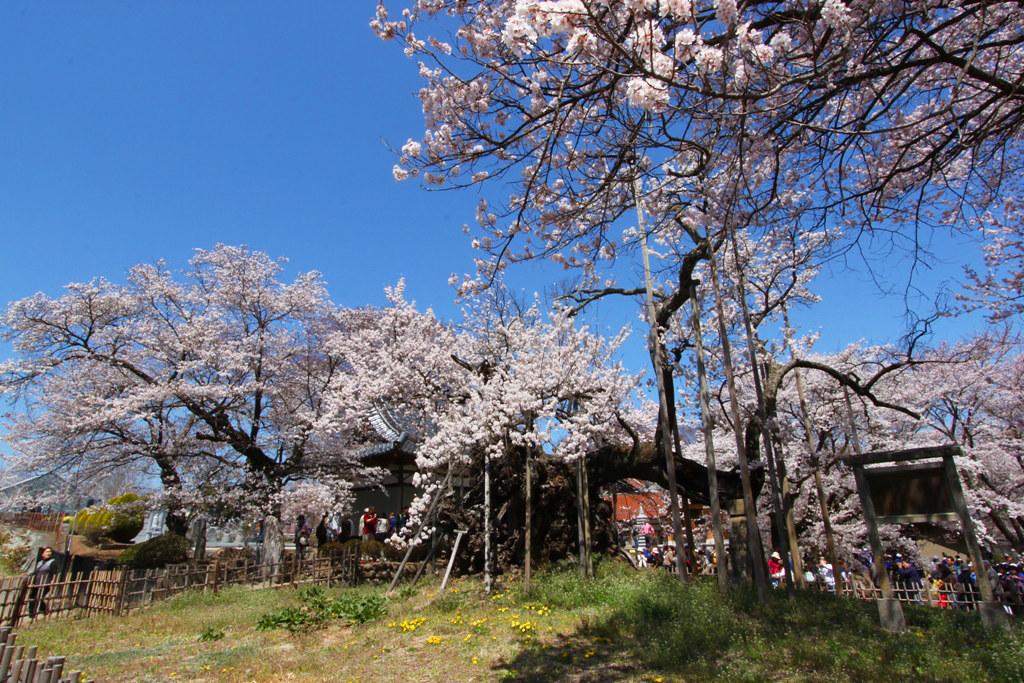 Sakura Photo 2011The Yamadaka Jindai Cherry blossom (17)