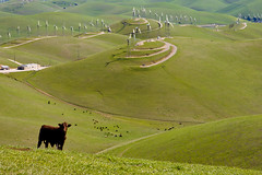 I hope you like it (henrikj) Tags: california trees plants usa plant tree nature ecology windmill animal animals america cow us scenery energy unitedstates cattle cows thing object unitedstatesofamerica objects things hills land electricity northamerica environment livermore creatures creature 2008 livestock environmentalism windturbine windfarm ecosystem windenergy zoology naturalresources beefcattle energycreation brushypeak dairycattle windturbinegenerator