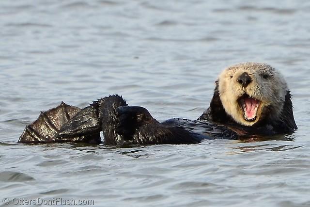 Sea otter giving a big yawn